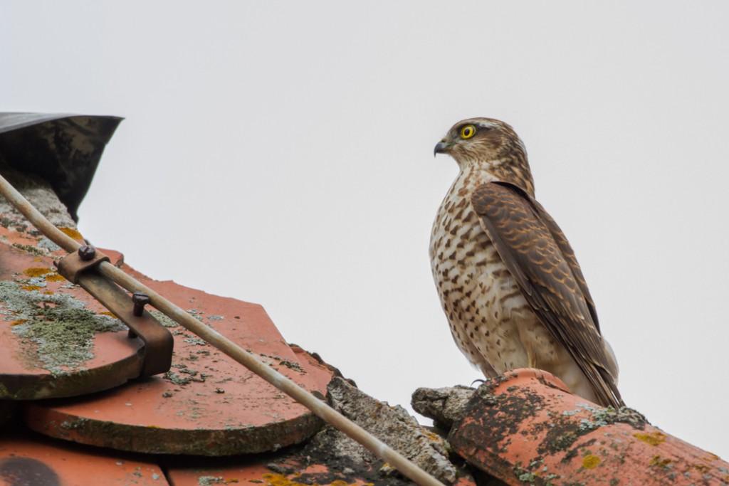 Buizerd vogelvakantie Altmühltal