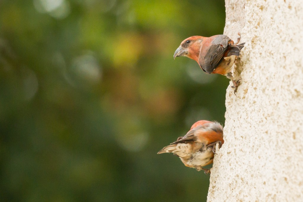 Kruisbek vogelvakantie Altmühltal